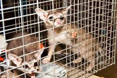 Fångad Cirkel-Tailed Cat-2 Royaltyfria Bilder