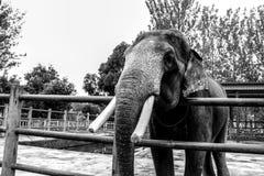 Fångad elephantï¼ Œ Kina Arkivbild