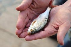 Fångad fisk i händerna royaltyfria foton