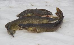 fångad fisk nytt royaltyfri fotografi