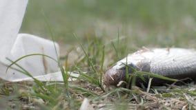 Fångad fisk som ligger på gräs och andas munnen Tjuvjaga och olagligt fiske arkivfilmer