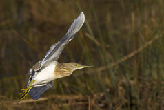 fångad full heronsquacco för flyg Royaltyfri Foto