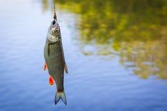 fångad lyckad flodmört för fiske nu arkivbilder
