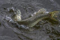 Fångad pikfisktrofé i vatten med att plaska Fiskebakgrund royaltyfri bild