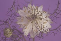 Fångad skönhet i lila royaltyfria bilder