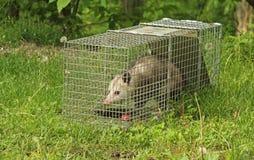 Fångade Virginia Opossum arkivfoton