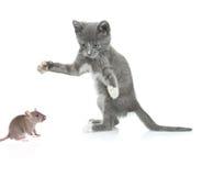 fångande mus för katt Arkivbild