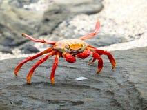 fångar krabbor den röda rocken galapagos royaltyfria foton