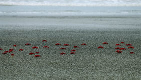 fångar krabbor red Arkivbilder