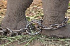 Fångenskap; kedjad fast elefant Fotografering för Bildbyråer