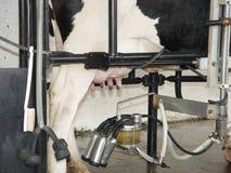 fånget mjölka Fotografering för Bildbyråer