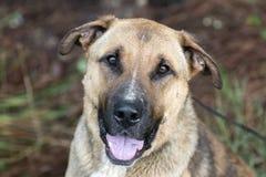 Fånig för Shar Pei för tysk herde hund blandad avel med tungan som ut klibbar Arkivfoton