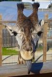 Fånig giraffstående Arkivbild