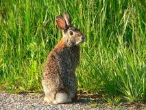 Fånig kanin 1 Arkivfoton