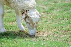 Får äter gräs Fotografering för Bildbyråer