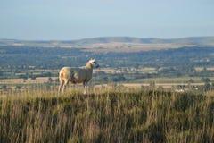 Får överst av en kulle som förbiser Wiltshire fotografering för bildbyråer