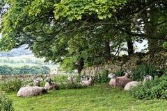 Får betar in, Yorkshire dalar, England Arkivbild