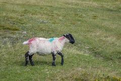 Får Dartmoor Devon England UK Arkivbild