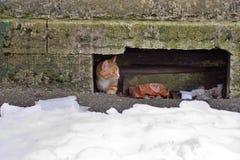 Får den röda katten för gatan fearfully ut ur källaren fotografering för bildbyråer
