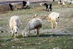 Får, får i får, betande får, vårankomster och får, bilder av älskvärda får, ull och får, fotografering för bildbyråer