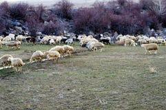 Får, får i får, betande får, vårankomster och får, bilder av älskvärda får, ull och får, royaltyfri fotografi