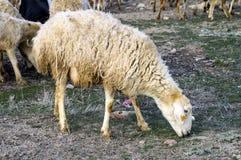 Får, får i får, betande får, vårankomster och får, bilder av älskvärda får, ull och får, royaltyfria foton