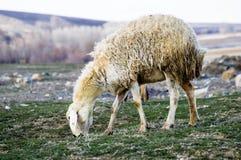 Får, får i får, betande får, vårankomster och får, bilder av älskvärda får, ull och får, arkivfoto