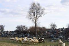 Får, får i får, betande får, vårankomster och får, bilder av älskvärda får, ull och får, royaltyfri foto