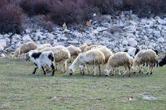 Får, får i får, betande får, vårankomster och får, bilder av älskvärda får, ull och får, royaltyfri bild