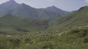 Får flockas att beta på den alpina ängen, berg stock video