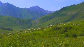 Får flockas att beta på den alpina ängen, berg arkivfilmer