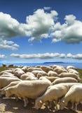 Får-fyllt landskap på Ringstead i Dorset Royaltyfri Fotografi