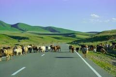 Får går på vägen Tabr grön kull klar dag Bergs Alatau ', royaltyfri fotografi