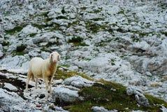 Får i bergen II Royaltyfri Fotografi