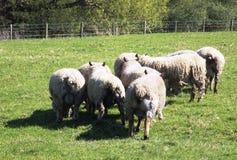 Får i Crookham, norr Northumberland, England Royaltyfri Bild