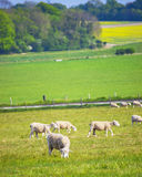 Får i dalen nära Stonehenge i Wiltshire i UK Royaltyfri Fotografi