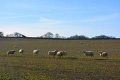 Får i ett fält i vinter på en klar solig dag royaltyfri fotografi