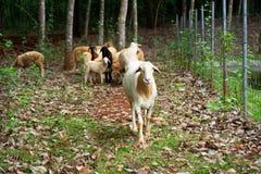 Får i ett traditionellt lantbruk, boskaplantgård som är utomhus- arkivfoton