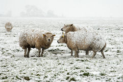 Får i ett vintrigt landskap Fotografering för Bildbyråer