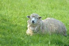 Får i fält nära Abbotsbury Royaltyfri Fotografi