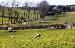 Får i fältet, Crookham, Northumberland, England UK Royaltyfria Bilder