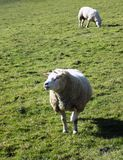 Får i fältet, Crookham, Northumberland, England UK Arkivfoto