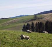 Får i fältet, Crookham, Northumberland, England UK Arkivbilder