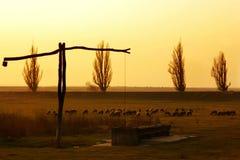 Får i fältet på solnedgången royaltyfria foton