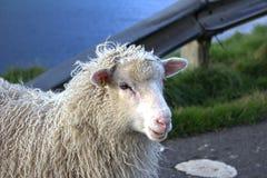Får i Faroeen Island Fotografering för Bildbyråer