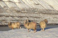 Får i Faroeen Island Arkivfoton