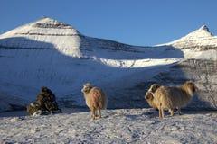 Får i Faroeen Island Royaltyfria Foton