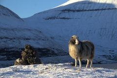 Får i Faroeen Island Arkivfoto