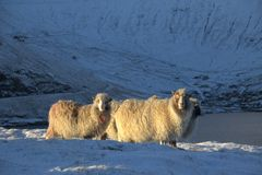 Får i Faroeen Island Royaltyfria Bilder