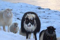 Får i Faroeen Island Arkivbild